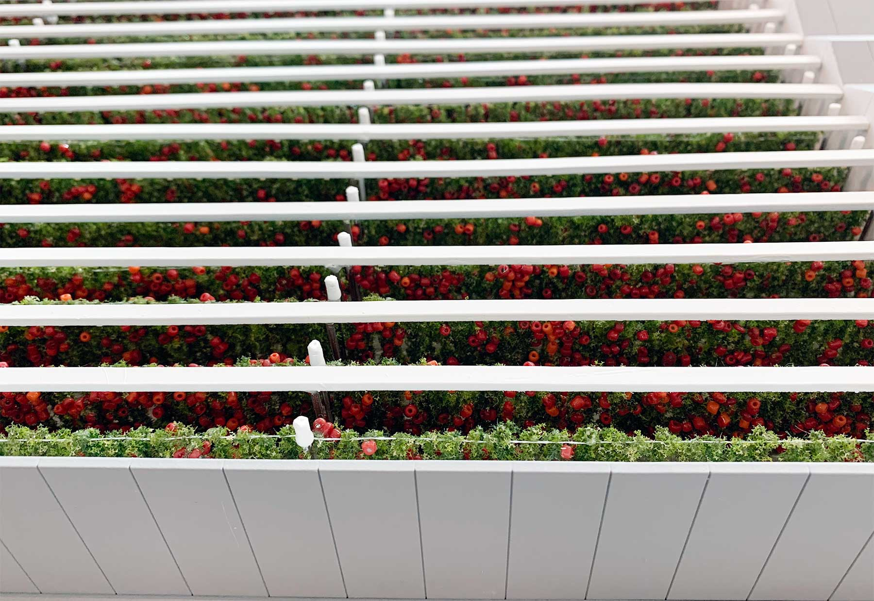 First of its kind, tomato farm in UAE. Half open model to showcase the tomato farm grown indoors.